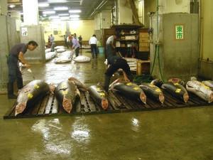 SELECCIÓN.- Los atúnes se ordenan según su tamaño y la calidad de  su carne